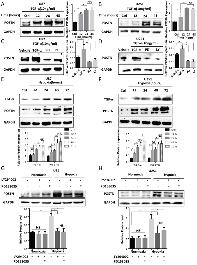 Hypoxia increased the secretion of TGF-α, which subsequently enhanced the expression of POSTN via the RTK/PI3K pathway in U87 and U251 cells.