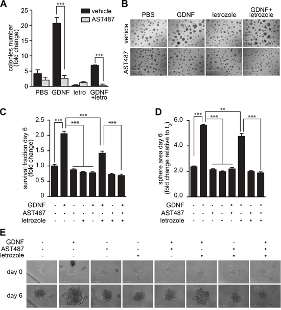 NVP-AST487 reduces GDNF-induced MCF7-AROM1 cell growth in 3D in vitro assays.