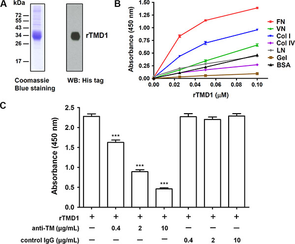 rTMD1 interacts specifically with fibronectin.