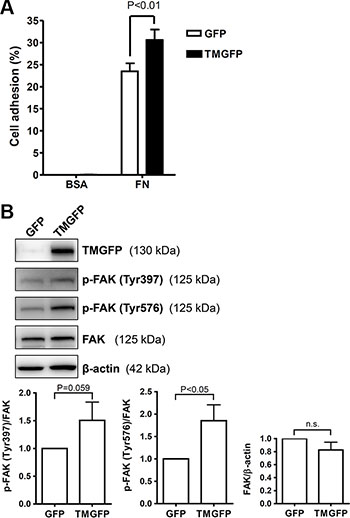 Exogenous expression of TM enhances cell adhesion on fibronectin and increases FAK tyrosine phosphorylation.