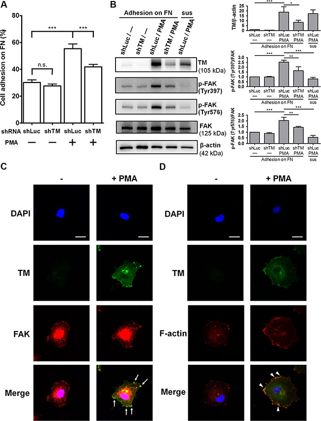 Endogenous TM promotes endothelial cell adhesion and FAK tyrosine phosphorylation.