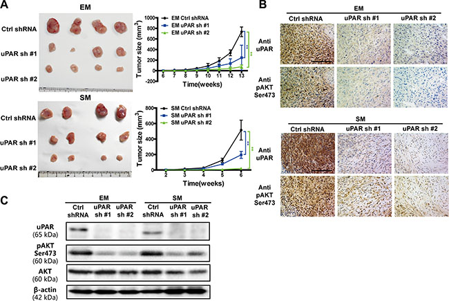 Inhibited growth of MM tumors in vivo with uPAR knock down.