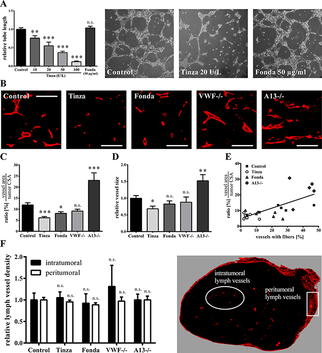 VWF fiber formation correlates with enhanced vascular angiogenesis.
