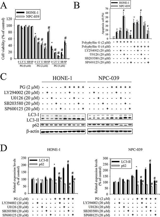 Effects of the AKT, ERK1/2, JNK1/2, and p38 MAPK on Polyphyllin G-induced apoptosis and autophagy in HONE-1 and NPC-039 cells.
