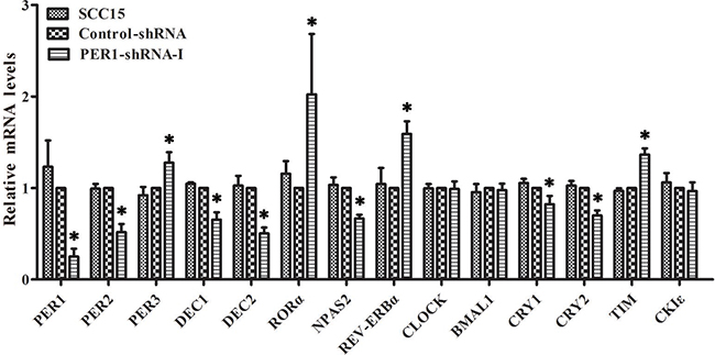 Levels of mRNA expression of clock genes in SCC15 cells after PER1 knockdown in vitro.