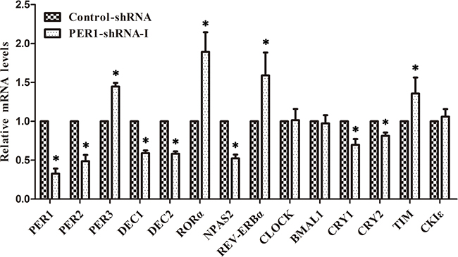 Levels of mRNA expression of clock genes after PER1 knockdown in vivo (mean ± SD).