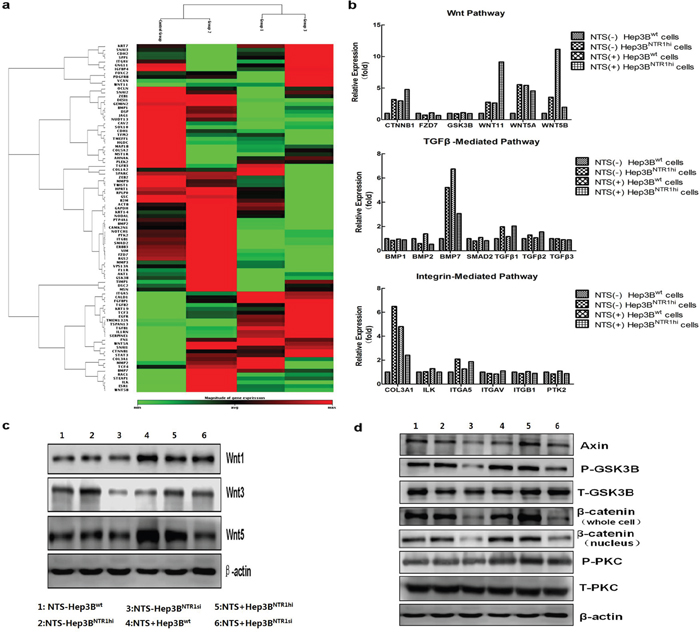 NTS-induced EMT correlated with the activation of the canonical Wnt/β-catenin pathway.