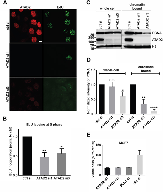 Depletion of ATAD2 in MCF7 cells impairs DNA replication.