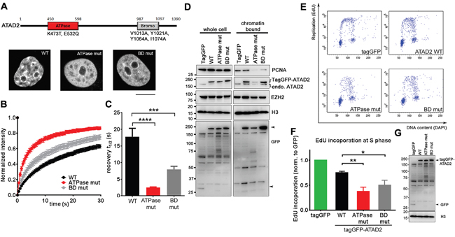 Overexpression of ATAD2 mutants incapable of chromatin binding leads to perturbed DNA replication.