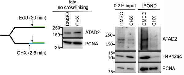 ATAD2 is recruited to replication sites by binding to newly synthesized histones.