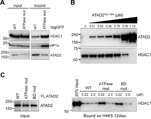 ATAD2 competes with HDAC1 for binding to H4K5,12diac.