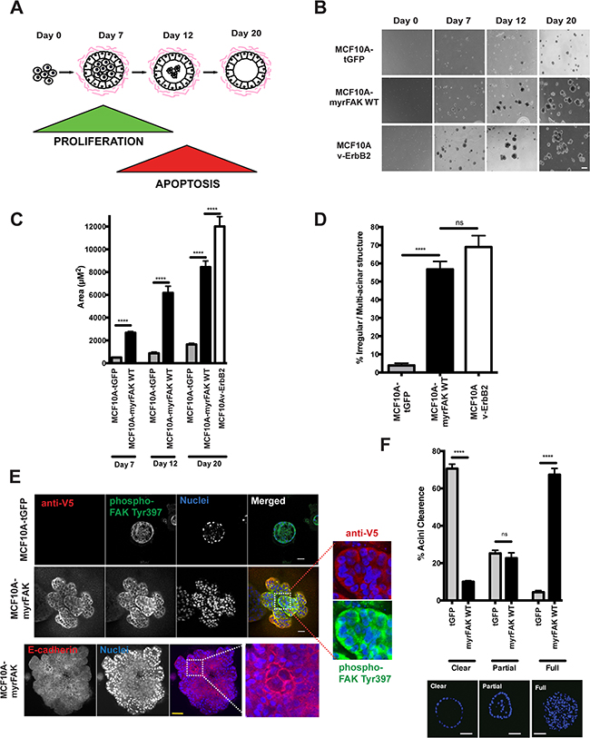 Constitutive activation of FAK results in aberrant acinar development in 3D-matrigel.