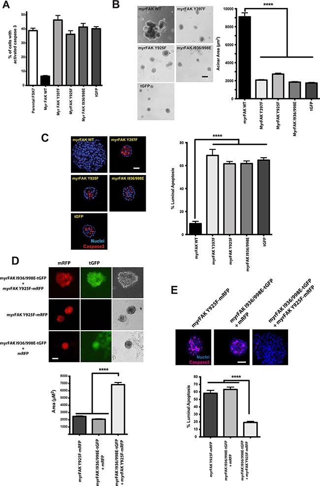 myrFAK suppression of luminal apoptosis requires tyrosine 925 phosphorylation and the paxillin binding site.