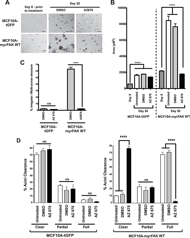 Normal acinar morphogenesis in 3D cultures does not require endogenous FAK signalling.
