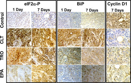 CLT, EPA, and TRO cause phosphorylation of eIF2α and induction of BiP and suppress expression of cyclin D1 in KLN tumors.