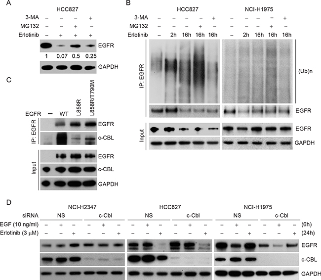 Erlotinib induces polyubiquitination-mediated proteasomal degradation in HCC827 cells.