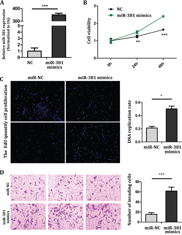 miR-381 overexpression promotes MG-63 cell proliferation and invasion