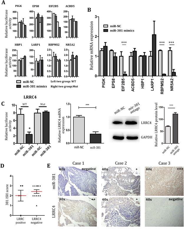 LRRC4 is target of miR-381, and LRRC4 suppresses MG-63 cell proliferation and invasion