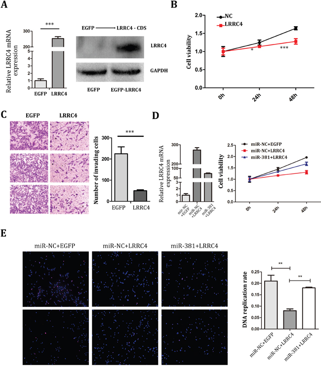 miR-381 Reversed the Inhibition Effect of LRRC4 on MG-63 Cells