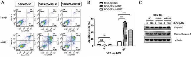 Effects of DCTPP1 knockdown on 5-FU-induced apoptosis in BGC-823 cells.