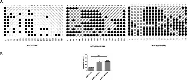 DNA methylation of MDR1 promoter region in DCTPP1-knockdown and control BGC-823 cells.