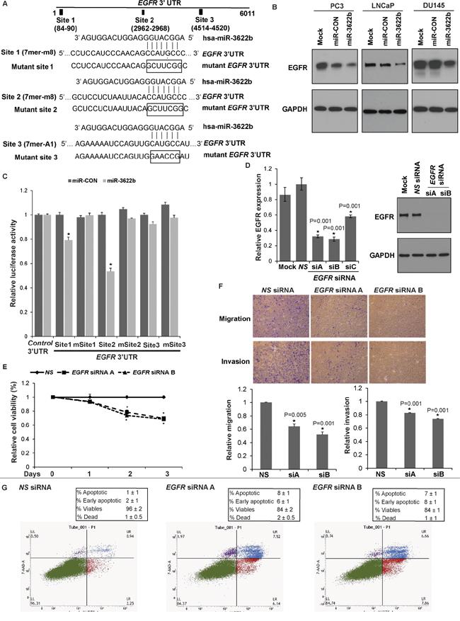 miR-3622b targets Epidermal Growth Factor Receptor in prostate cancer.