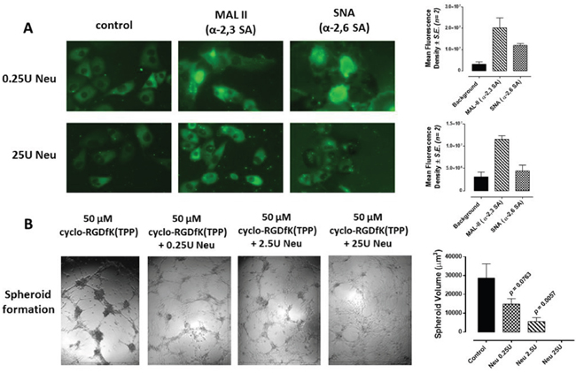 A. Fluorescent microscopy images of MCF-7 stained with biotinylated MAL-II and SNA followed with avidin-fluorescein after 24 h of incubation with 25U or 0.25U of neuraminidase (Neu) (Vibrio cholerae, cleavage of α2,6-SA > α2,3-SA > α2,8-SA).