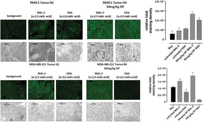 Fluorescence histochemical detection of α-2,3 SA and α-2,6 SA expressions in paraffin-embedded tumor tissues archived from xenograft tumors of PANC 1 and MDA-MB231 cells growing in RAG xCγ double mutant mice.