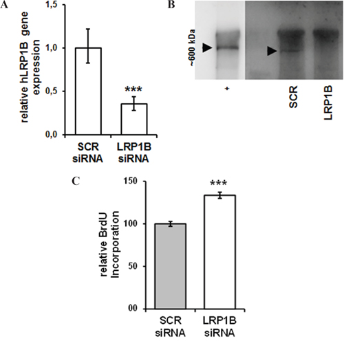 siRNA-mediated knockdown of LRP1B increases Calu-1 proliferation.