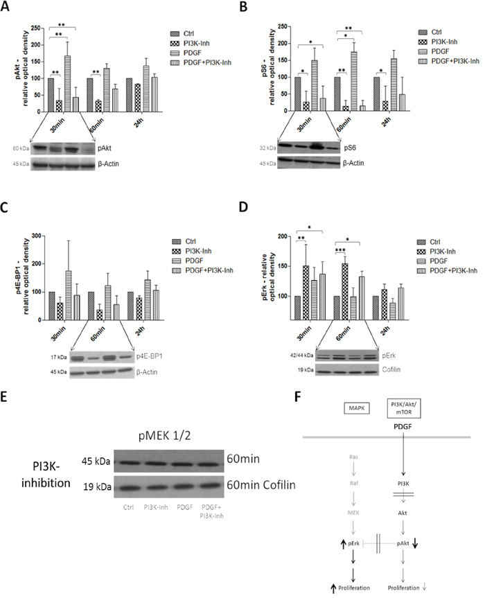 Western Blot analysis representing the effects of PDGF stimulation and/or PI3K inhibition on the PI3K/Akt/mTOR and MAPK pathway in HT29 cells F.