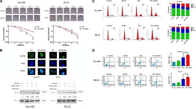 DADA sensitized ESCC cells to radiotherapy in vitro.