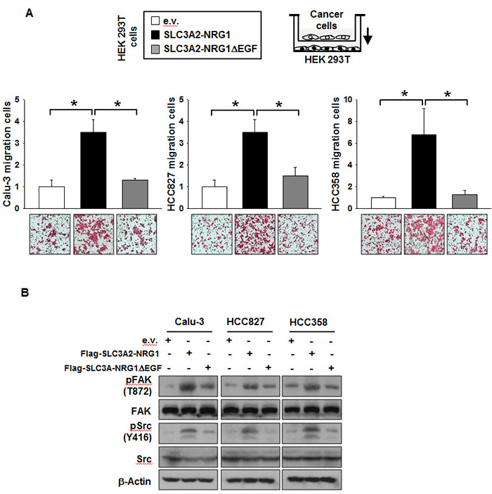 SLC3A2-NRG1 fusion gene increases cancer cell migration.