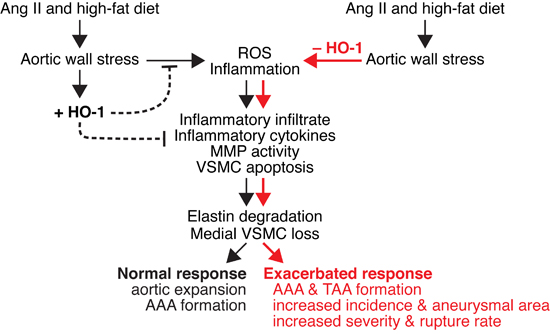 Schematic model of effect of HO-1 on angiotensin II-induced aortic aneurysm formation.