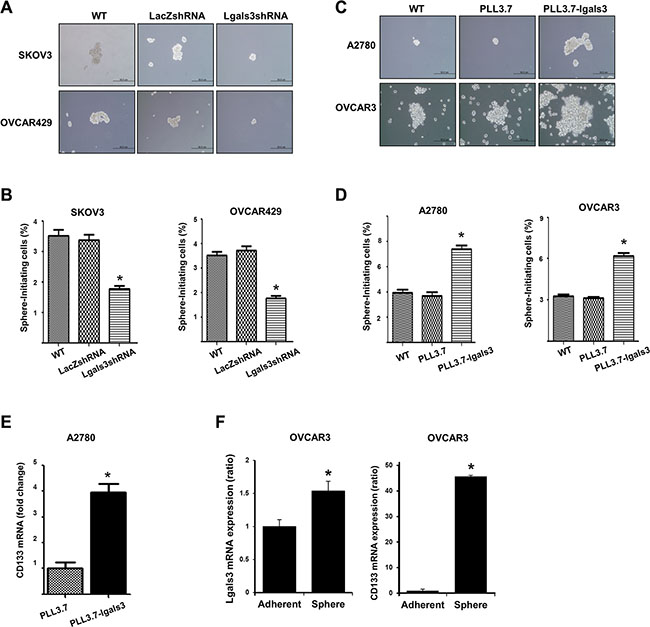 Galectin-3 regulates cancersphere formation, which is a stem cell like phenotype, in ovarian cancer cells.