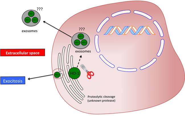 Possible significance and release mechanism of HO-1 in the extracellular space.