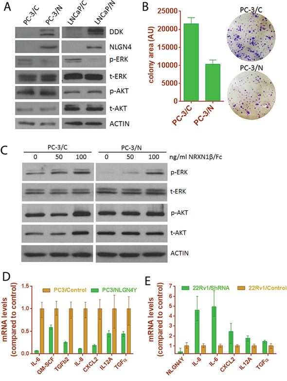 Expression of NLGN4Y decreases cell proliferation and pro-inflammatory cytokine expression.