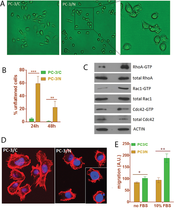 Expression of NLGN4Y in PC-3 leads to changes in cell morphology, cell motility and small Rho GTPase activities.