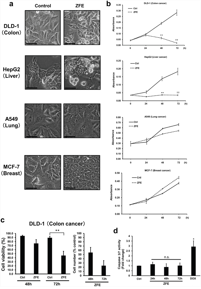 ZFE induces vacuolization and inhibits proliferation in some cancer cells.