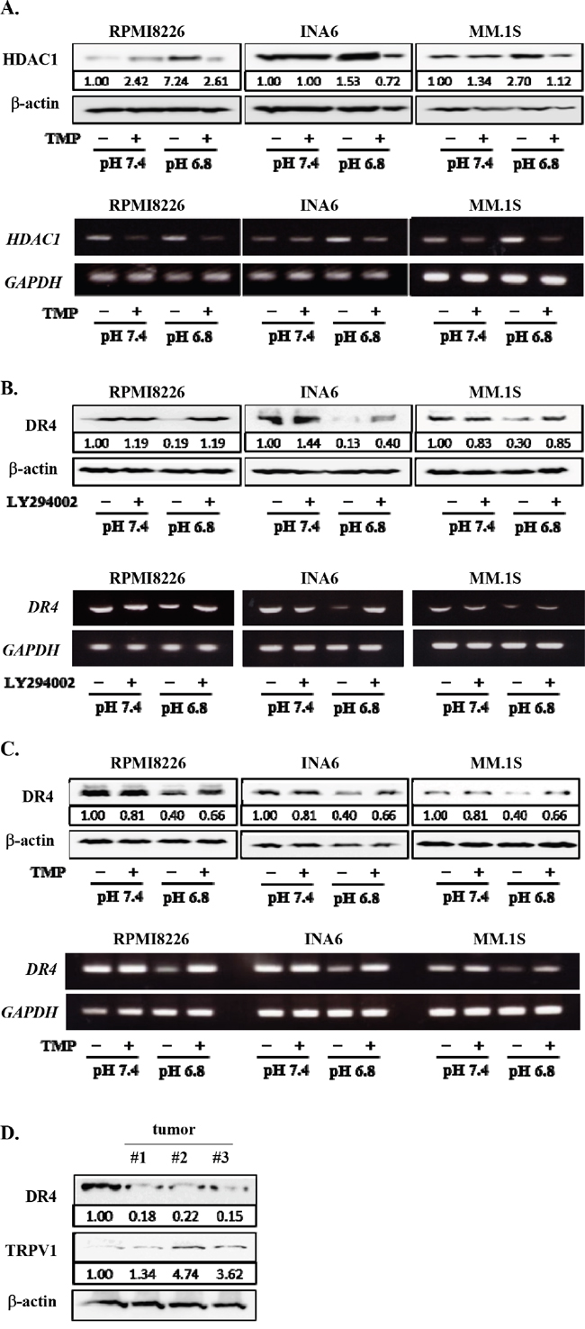 Restoration of DR4 expression in MM cells by inhibition of PI3K-Akt-Sp1 pathway under acidic conditions.
