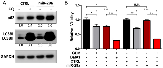 miR-29a overexpression causes blockage in autophagy flux.