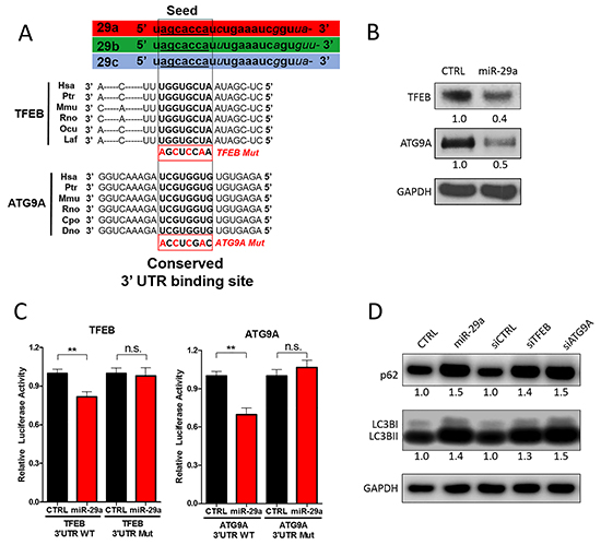miR-29a downregulates TFEB and ATG9A to inhibit autophagy.