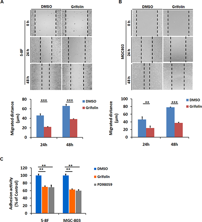 Grifolin inhibits migration and adhesion of high-metastatic cancer cells.