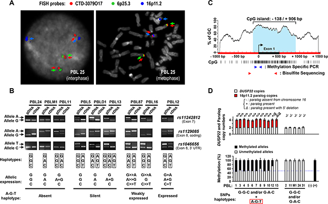 Mapping and haplotype identification of a transcriptionally inactive paralog of the DUSP22 gene on 16p11.2.
