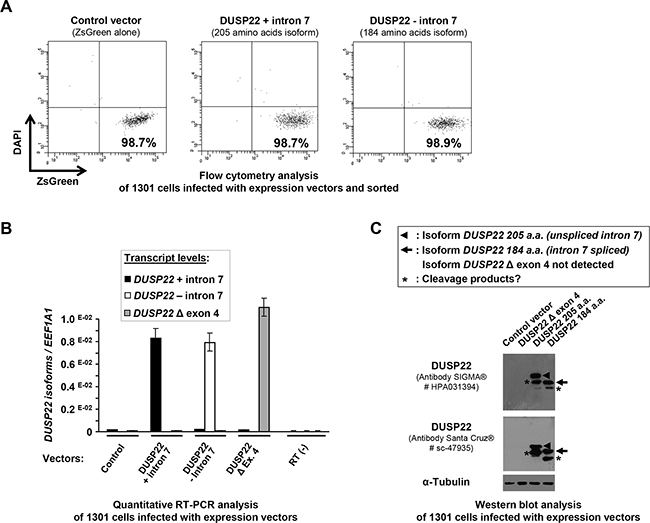 Cell sorting after lentiviral infection and analysis of ectopic expression of DUSP22 isoforms in 1301 lymphoid T cells.
