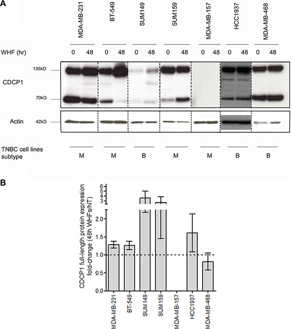 Regulation of CDCP1 expression by WHF in TNBC cell lines.