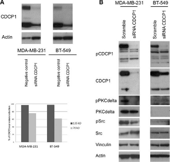 Effect of silencing CDCP1 on signaling mediators.