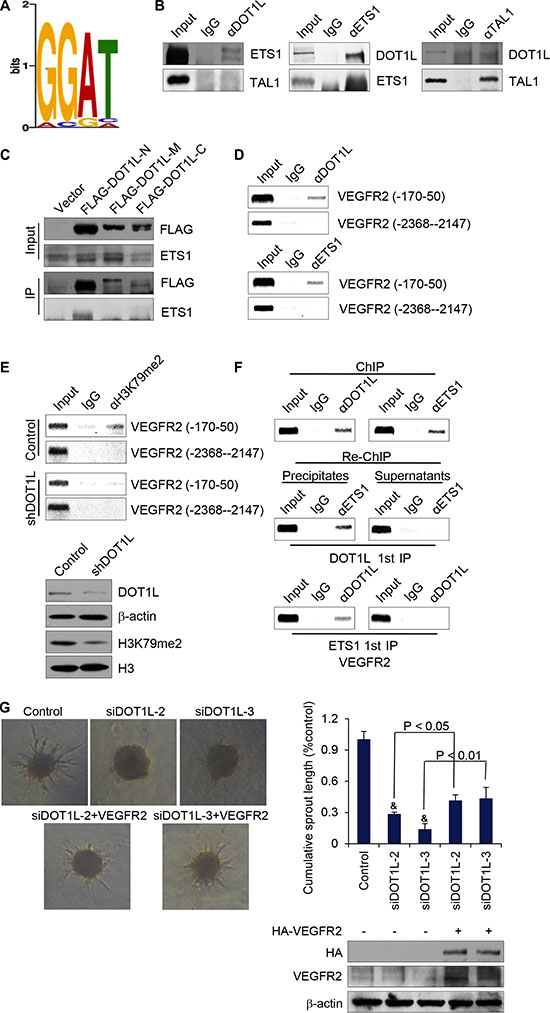 DOT1L cooperates with ETS-1 to regulate the transcription of VEGFR2.