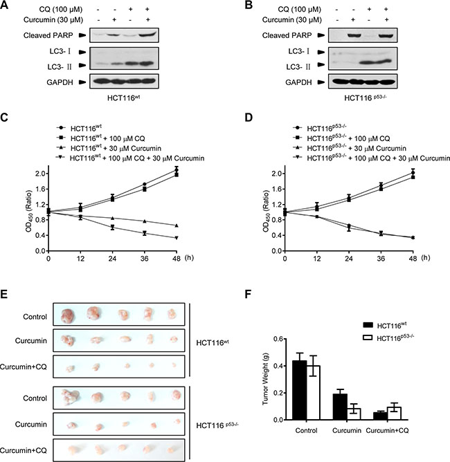 Combination with lysosome inhibitor improves the killing effect of curcumin in Nude-mice xenograft p53-positive HCT116 tumors.