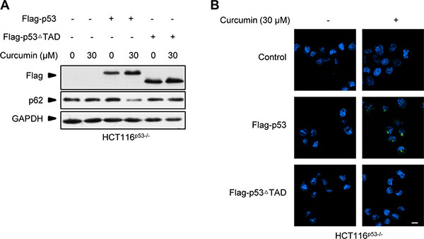 Flag-p53ΔTAD failed to recover curcumin-induced autophagy response in p53-null HCT116 cells.