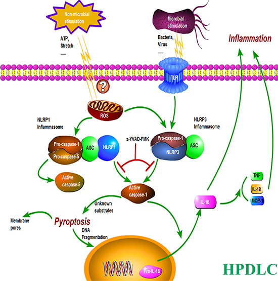 A proposed model illustrating the mechanism of inflammation and pyroptosis via NLRP3 and NLRP1 inflammasomes in HPDLCs.